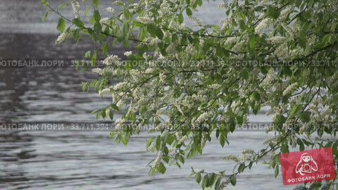 Купить «blossoming bird-cherry tree bunch with white flowers and green leaves in a sunny spring day Against the background of a forest lake,Shot in 4K UHD», видеоролик № 33711394, снято 17 мая 2009 г. (c) Куликов Константин / Фотобанк Лори