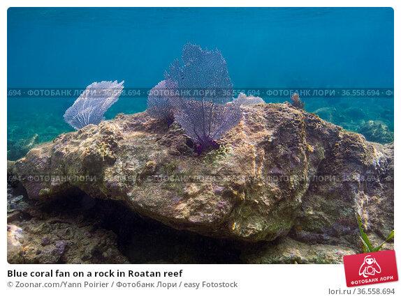 Blue coral fan on a rock in Roatan reef. Стоковое фото, фотограф Zoonar.com/Yann Poirier / easy Fotostock / Фотобанк Лори