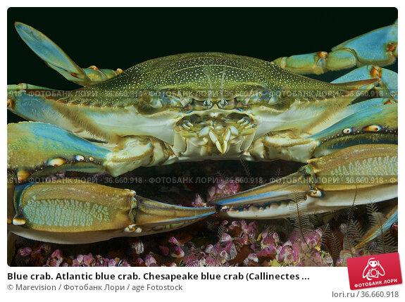 Blue crab. Atlantic blue crab. Chesapeake blue crab (Callinectes ... Стоковое фото, фотограф Marevision / age Fotostock / Фотобанк Лори