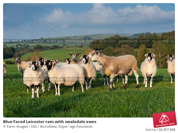 Blue Faced Leicester ram with swaledale ewes. Стоковое фото, фотограф Farm Images \ UIG / age Fotostock / Фотобанк Лори