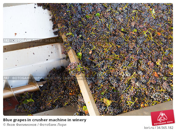 Blue grapes in crusher machine in winery. Стоковое фото, фотограф Яков Филимонов / Фотобанк Лори