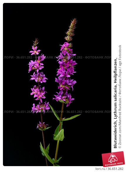Blutweiderich, Lythrum salicaria, Heilpflanzen, Стоковое фото, фотограф Zoonar.com/Manfred Ruckszio / age Fotostock / Фотобанк Лори