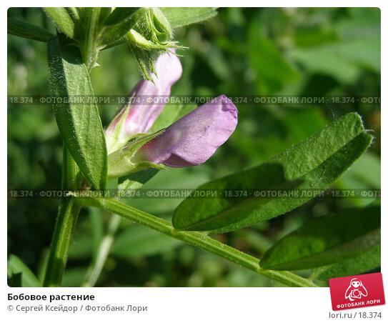 Бобовое растение, фото № 18374, снято 18 июня 2006 г. (c) Сергей Ксейдор / Фотобанк Лори