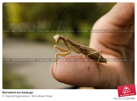 Купить «Богомол на пальце», фото № 6524898, снято 12 октября 2014 г. (c) Сергей Куриленко / Фотобанк Лори