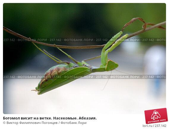 Богомол висит на ветке. Насекомые. Абхазия., фото № 237142, снято 1 сентября 2006 г. (c) Виктор Филиппович Погонцев / Фотобанк Лори