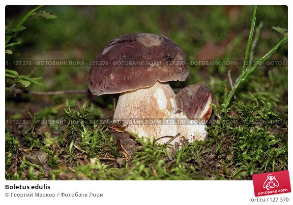 Купить «Boletus edulis», фото № 127370, снято 20 апреля 2018 г. (c) Георгий Марков / Фотобанк Лори