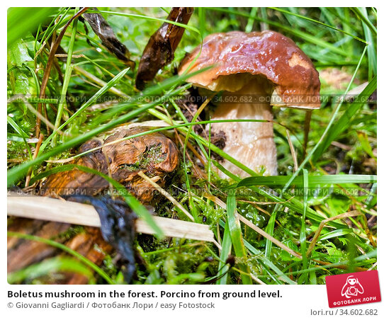 Boletus mushroom in the forest. Porcino from ground level. Стоковое фото, фотограф Giovanni Gagliardi / easy Fotostock / Фотобанк Лори