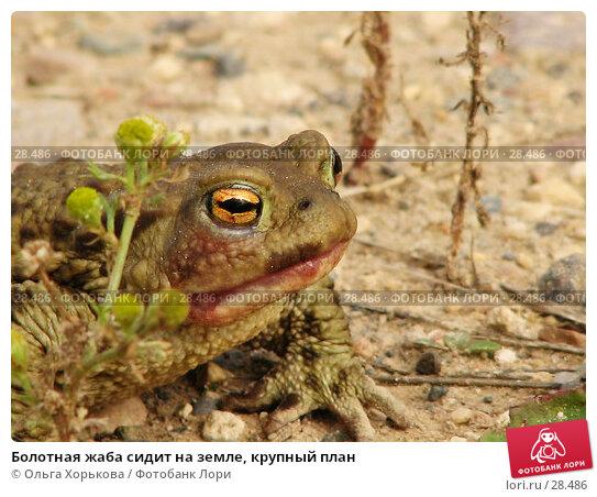 Купить «Болотная жаба сидит на земле, крупный план», фото № 28486, снято 9 августа 2006 г. (c) Ольга Хорькова / Фотобанк Лори