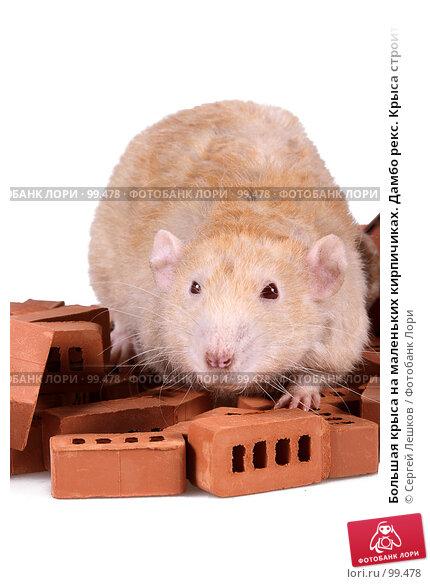Купить «Большая крыса на маленьких кирпичиках. Дамбо рекс. Крыса строитель. Крупный план.», фото № 99478, снято 21 апреля 2018 г. (c) Сергей Лешков / Фотобанк Лори
