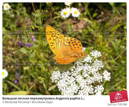 Большая лесная перламутровка Argynnis paphia L.;, фото № 119186, снято 4 августа 2007 г. (c) Вячеслав Потапов / Фотобанк Лори