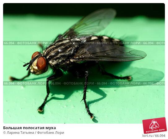 Большая полосатая муха, фото № 66094, снято 29 июля 2007 г. (c) Ларина Татьяна / Фотобанк Лори
