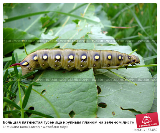 Большая пятнистая гусеница крупным планом на зеленом листе, фото № 157850, снято 2 июля 2007 г. (c) Михаил Коханчиков / Фотобанк Лори