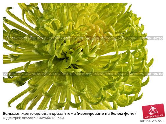 Большая желто-зеленая хризантема (изолировано на белом фоне), фото № 297550, снято 19 апреля 2008 г. (c) Дмитрий Яковлев / Фотобанк Лори
