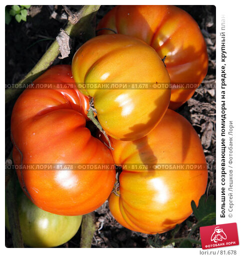 Большие созревающие помидоры на грядке, крупный план, фото № 81678, снято 15 декабря 2007 г. (c) Сергей Лешков / Фотобанк Лори