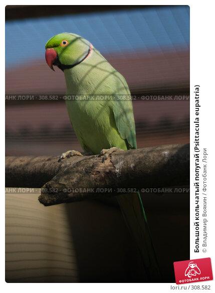 Большой кольчатый попугай (Psittacula eupatria), фото № 308582, снято 17 мая 2008 г. (c) Владимир Воякин / Фотобанк Лори