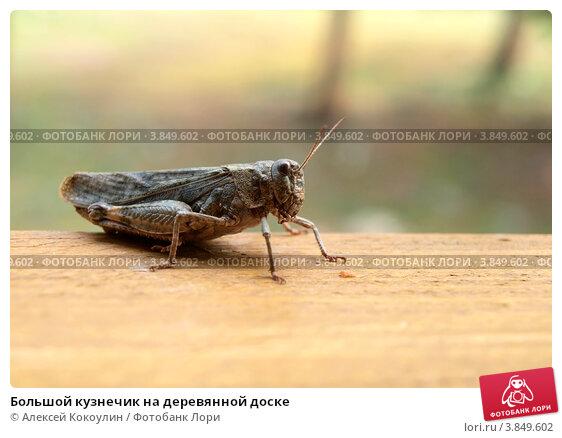 Купить «Большой кузнечик на деревянной доске», фото № 3849602, снято 12 июля 2020 г. (c) Алексей Кокоулин / Фотобанк Лори