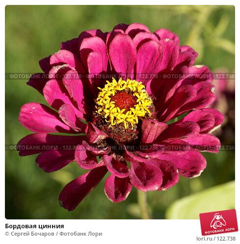 Купить «Бордовая цинния», фото № 122738, снято 29 сентября 2007 г. (c) Сергей Бочаров / Фотобанк Лори