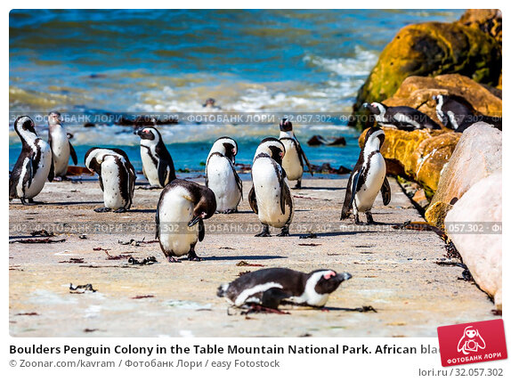 Boulders Penguin Colony in the Table Mountain National Park. African black-white penguins. Animals in South Africa. Стоковое фото, фотограф Zoonar.com/kavram / easy Fotostock / Фотобанк Лори