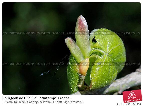 Bourgeon de tilleul au printemps. France. Стоковое фото, фотограф Pascal Deloche / Godong / age Fotostock / Фотобанк Лори