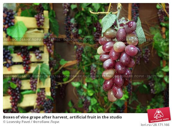 Купить «Boxes of vine grape after harvest, artificial fruit in the studio», фото № 28171166, снято 27 ноября 2015 г. (c) Losevsky Pavel / Фотобанк Лори