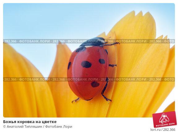 Божья коровка на цветке, фото № 282366, снято 9 июля 2007 г. (c) Анатолий Типляшин / Фотобанк Лори