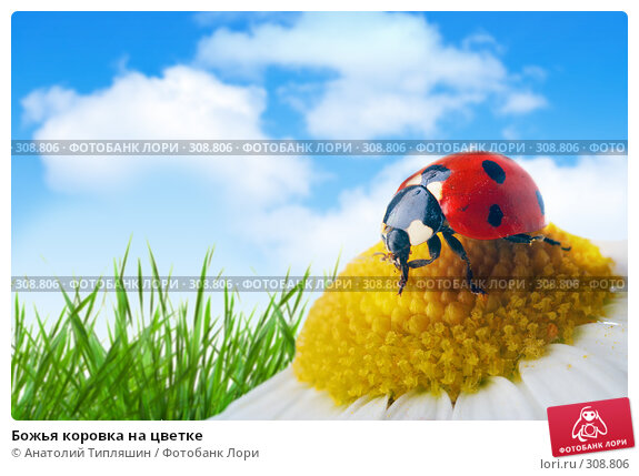 Божья коровка на цветке, фото № 308806, снято 28 мая 2017 г. (c) Анатолий Типляшин / Фотобанк Лори