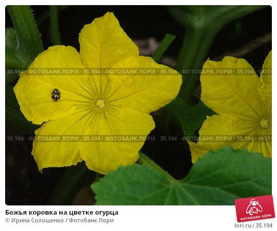 Божья коровка на цветке огурца, фото № 35194, снято 25 июня 2006 г. (c) Ирина Солошенко / Фотобанк Лори