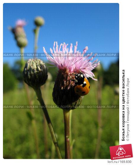 Божья коровка на цветке василька, фото № 169830, снято 15 июля 2007 г. (c) Петухов Геннадий / Фотобанк Лори