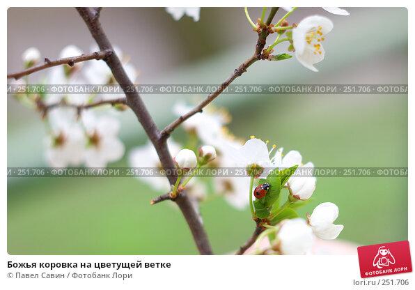 Божья коровка на цветущей ветке, фото № 251706, снято 12 апреля 2008 г. (c) Павел Савин / Фотобанк Лори