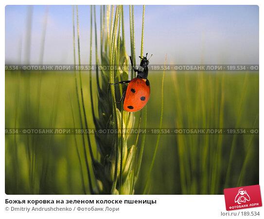 Божья коровка на зеленом колоске пшеницы, фото № 189534, снято 3 июня 2006 г. (c) Dmitriy Andrushchenko / Фотобанк Лори