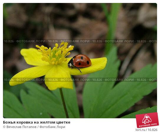 Божья коровка на желтом цветке, фото № 10826, снято 3 мая 2004 г. (c) Вячеслав Потапов / Фотобанк Лори