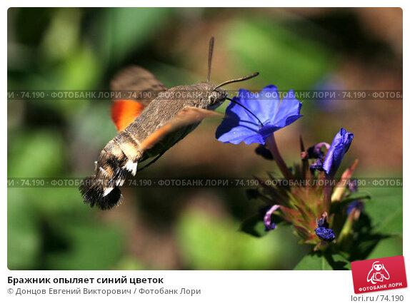 Бражник опыляет синий цветок, фото № 74190, снято 4 августа 2007 г. (c) Донцов Евгений Викторович / Фотобанк Лори