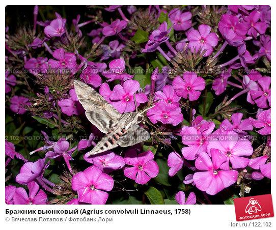 Бражник вьюнковый (Agrius convolvuli Linnaeus, 1758), фото № 122102, снято 5 августа 2007 г. (c) Вячеслав Потапов / Фотобанк Лори