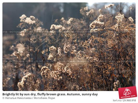 Купить «Brightly lit by sun dry, fluffy brown grass. Autumn, sunny day», фото № 29960918, снято 13 ноября 2018 г. (c) Наталья Николаева / Фотобанк Лори