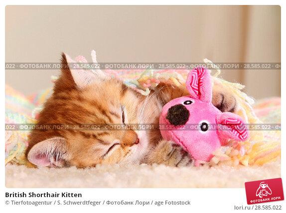 Купить «British Shorthair Kitten», фото № 28585022, снято 9 мая 2018 г. (c) age Fotostock / Фотобанк Лори