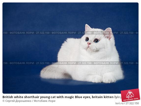 Купить «British white shorthair young cat with magic Blue eyes, britain kitten lying on blue background with reflection, copy space for text», фото № 27322150, снято 9 декабря 2017 г. (c) Сергей Дорошенко / Фотобанк Лори