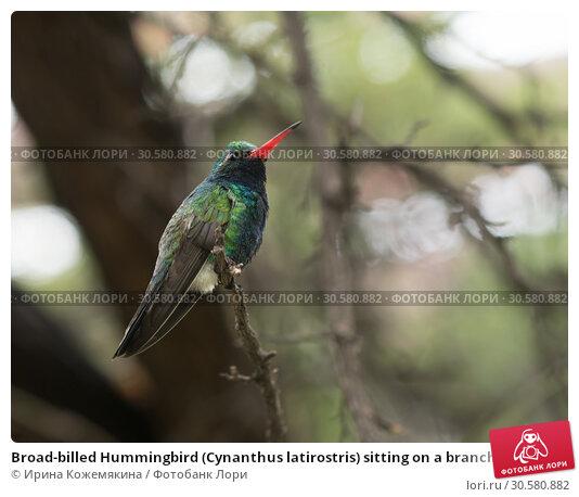 Купить «Broad-billed Hummingbird (Cynanthus latirostris) sitting on a branch», фото № 30580882, снято 12 марта 2019 г. (c) Ирина Кожемякина / Фотобанк Лори