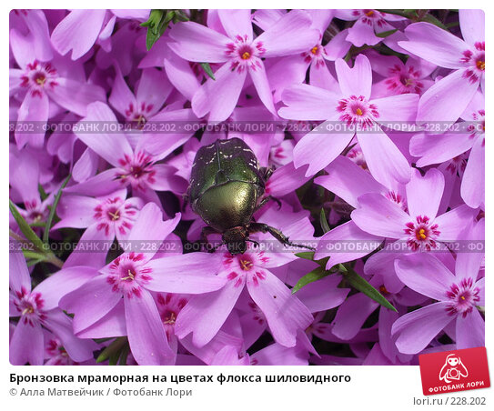 Бронзовка мраморная на цветах флокса шиловидного, фото № 228202, снято 17 июня 2006 г. (c) Алла Матвейчик / Фотобанк Лори