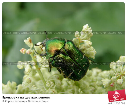 Бронзовка на цветках ревеня, фото № 30002, снято 4 июня 2006 г. (c) Сергей Ксейдор / Фотобанк Лори