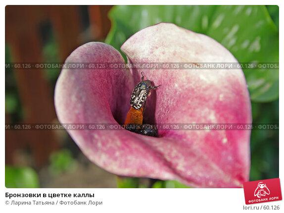 Купить «Бронзовки в цветке каллы», фото № 60126, снято 26 июня 2007 г. (c) Ларина Татьяна / Фотобанк Лори