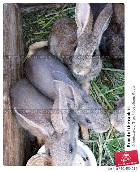 Brood of the rabbits. Стоковое фото, фотограф Александр Птах / Фотобанк Лори