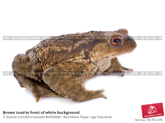 Brown toad in front of white background. Стоковое фото, фотограф Zoonar.com/Emmanuelle BONZAMI / age Fotostock / Фотобанк Лори