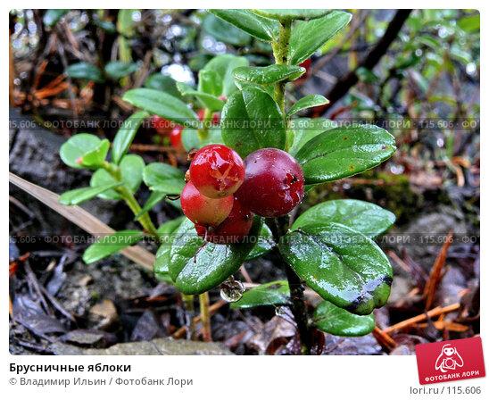 Купить «Брусничные яблоки», фото № 115606, снято 12 августа 2007 г. (c) Владимир Ильин / Фотобанк Лори