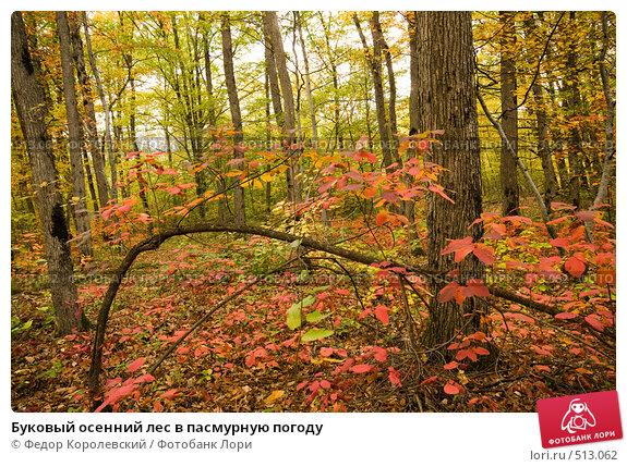 Купить «Буковый осенний лес в пасмурную погоду», фото № 513062, снято 18 октября 2008 г. (c) Федор Королевский / Фотобанк Лори