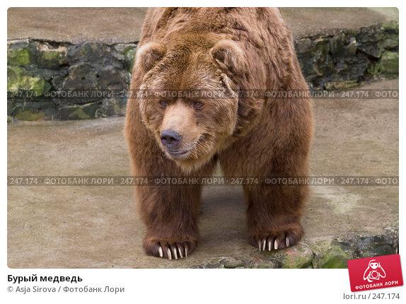Бурый медведь, фото № 247174, снято 6 апреля 2008 г. (c) Asja Sirova / Фотобанк Лори