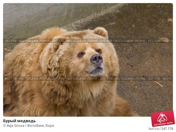 Бурый медведь, фото № 247178, снято 6 апреля 2008 г. (c) Asja Sirova / Фотобанк Лори