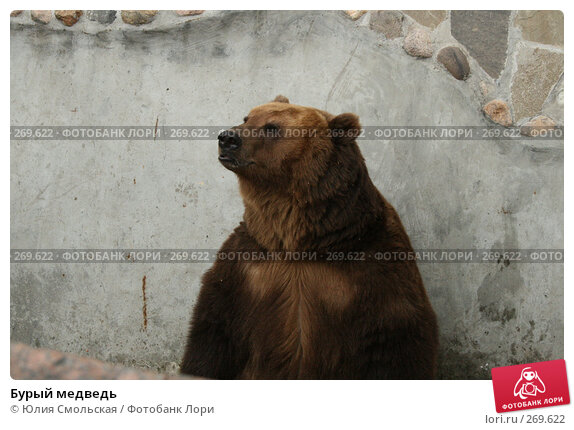 Бурый медведь, фото № 269622, снято 2 мая 2008 г. (c) Юлия Смольская / Фотобанк Лори