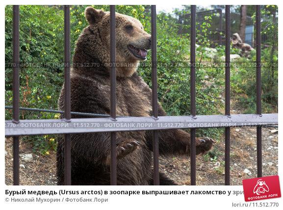 Купить «Бурый медведь (Ursus arctos) в зоопарке выпрашивает лакомство у зрителей. «Сафари-Парк» в городе-курорте Геленджике», фото № 11512770, снято 15 июля 2015 г. (c) Николай Мухорин / Фотобанк Лори