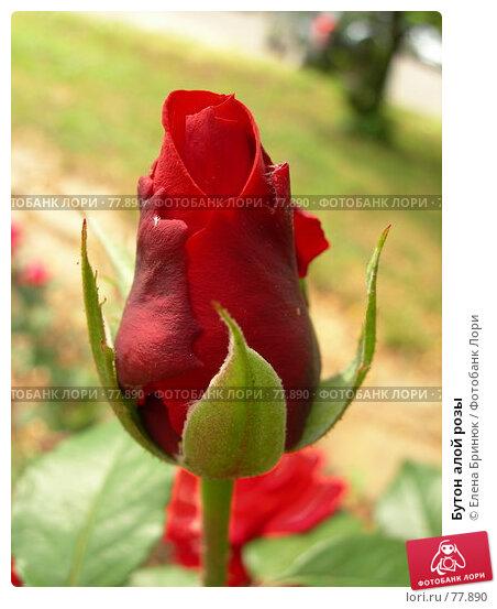 Бутон алой розы, фото № 77890, снято 29 июня 2007 г. (c) Елена Бринюк / Фотобанк Лори
