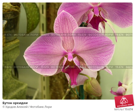 Бутон орхидеи, фото № 19674, снято 15 февраля 2007 г. (c) Удодов Алексей / Фотобанк Лори